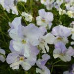 Hoornviooltje - Viola cornuta 'Milkmaid'