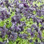 Viola cornuta 'Molly Sanderson' - Zwarte viooltjes - Viola cornuta 'Molly Sanderson'