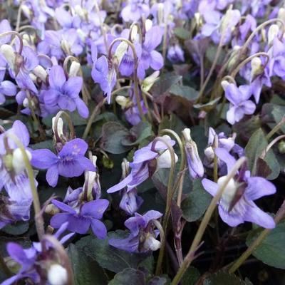 Viola labradorica -