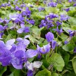 Viola odorata 'Königin Charlotte' - Maarts viooltje - Viola odorata 'Königin Charlotte'