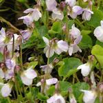 Viola odorata 'Mrs R Barton' - Viola odorata 'Mrs R Barton' - Maarts viooltje