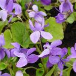 Viola odorata 'Vanilla' - Maarts viooltje - Viola odorata 'Vanilla'