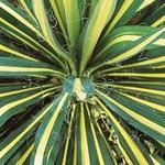 Yucca filamentosa 'Color Guard' - Yucca filamentosa 'Color Guard' - Palmlelie