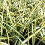 Yucca flaccida 'Golden Sword' - Yucca flaccida 'Golden Sword' - Palmlelie