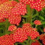 Achillea millefolium 'Safran' - Duizendblad - Achillea millefolium 'Safran'
