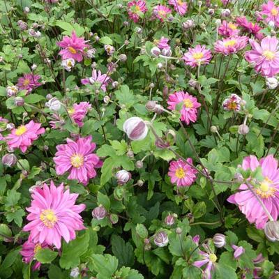 Anemone hybrida x 'Bressingham Glow' -