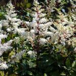 Pluimspirea - Astilbe x arendsii  'Rock and Roll'