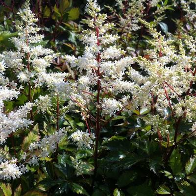 Astilbe x arendsii  'Rock and Roll' - Pluimspirea