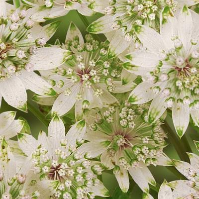 Zeeuws knoopje - Astrantia major 'Star Of Billion'