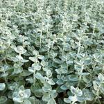 Ballota pseudodictamnus - Valse vuurwerkplant - Ballota pseudodictamnus