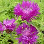 Centaurea dealbata 'Steenbergii' - Korenbloem - Centaurea dealbata 'Steenbergii'