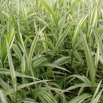 Chasmanthium latifolium 'River Mist' - Plat arengras - Chasmanthium latifolium 'River Mist'