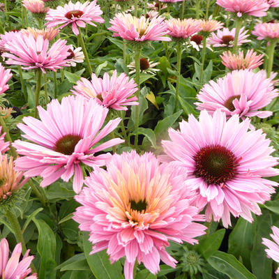 Echinacea SUNSEEKERS 'Salmon' - Rode zonnehoed