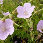 Geranium clarkei 'Kashmir Pink' - Ooievaarsbek - Geranium clarkei 'Kashmir Pink'