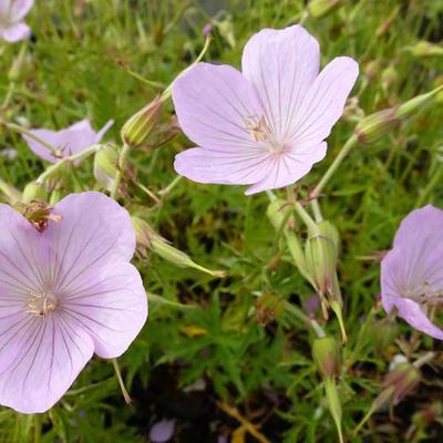 Geranium clarkei 'Kashmir Pink' -