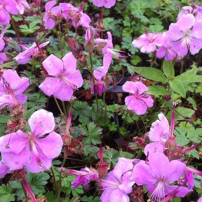 Geranium dalmaticum 'Bressingham Pink' -