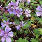 Geranium renardii 'Tcschelda' - Ooievaarsbek - Geranium renardii 'Tcschelda'