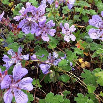 Geranium renardii 'Tcschelda' -