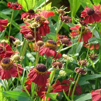 Helenium 'Red Jewel' -