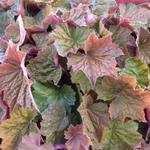 Heuchera 'Brownies' - Purperklokje