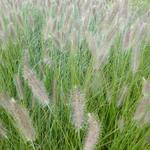 Lampenpoetsersgras - Pennisetum alopecuroides 'Lady U'