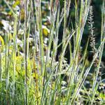 Schizachyrium scoparium 'Ha Ha Tonka' - Schizachyrium scoparium 'Ha Ha Tonka' - Klein prairiegras