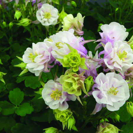 Aquilegia Vulgaris 'Winky Double Rose-White'