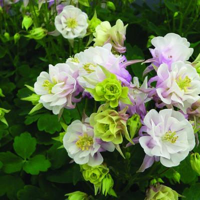 Aquilegia Vulgaris WINKY 'Double Rose-White' -