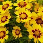 Coreopsis grandiflora 'Sonnenkind' - Meisjesogen  - Coreopsis grandiflora 'Sonnenkind'