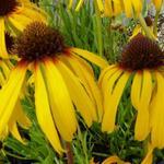 Gele zonnehoed - Echinacea paradoxa