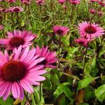 Echinacea purpurea 'Fatal Attraction' - Zonnehoed - Echinacea purpurea 'Fatal Attraction'