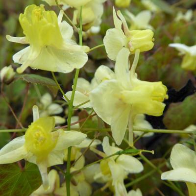 Epimedium pinnatum subsp. colchicum -