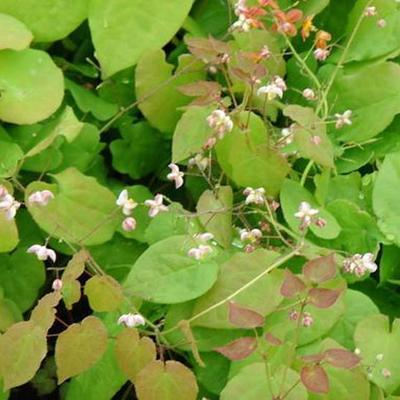 Epimedium pubigerum - Elfenbloem - Epimedium pubigerum