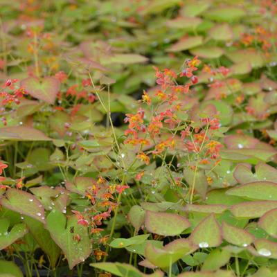 Epimedium pubigerum 'Orangekönigin' -