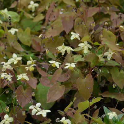 Epimedium x versicolor 'Neosulphureum' -