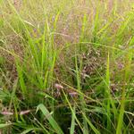 Eragrostis spectabilis - Liefdesgras - Eragrostis spectabilis