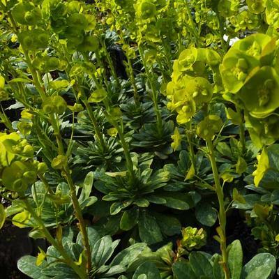 Euphorbia amygdaloides var. robbiae - Amandelwolfsmelk - Euphorbia amygdaloides var. robbiae