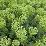 Wolfsmelk - Euphorbia characias ssp wulfenii