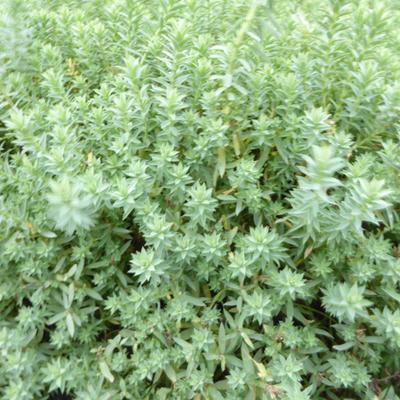 Euphorbia pithyusa subsp. cupanii 'Ponte Leccia' -