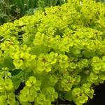 Wolfsmelk - Euphorbia seguieriana subsp. niciciana