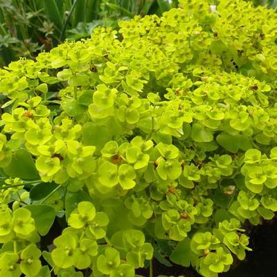 Euphorbia seguieriana subsp. niciciana -