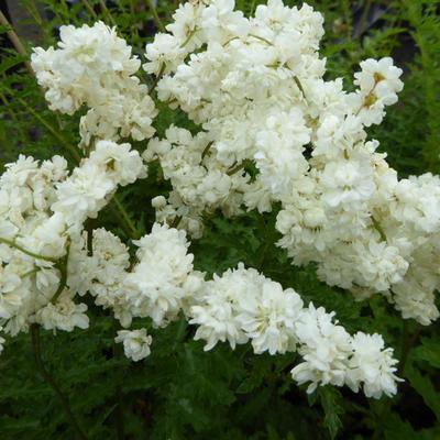 Filipendula vulgaris 'Multiplex' - Knolspirea - Filipendula vulgaris 'Multiplex'