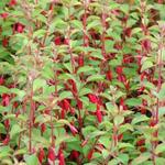 Fuchsia magellanica var. gracilis - Bellenplant - Fuchsia magellanica var. gracilis