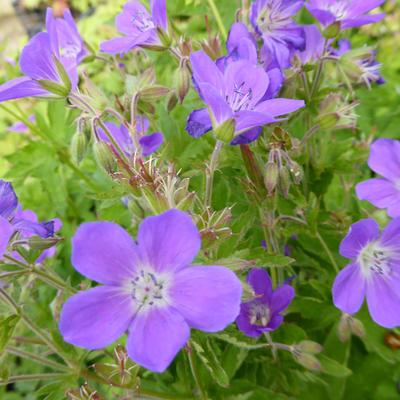 Geranium 'Primadonna' -