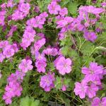 Geranium x riversleaianum 'Russel Prichard' - Ooievaarsbek - Geranium x riversleaianum 'Russel Prichard'
