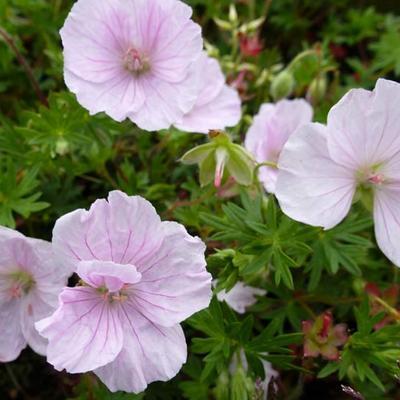 Geranium sanguineum 'Apfelblüte' -