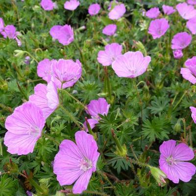 Geranium sanguineum 'John Elsley' -