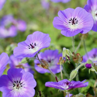Geranium wallichianum CENSATION 'Daily Blue' -