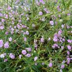 Gypsophila paniculata 'FESTIVAL Pink' - Gipskruid - Gypsophila paniculata 'FESTIVAL Pink'