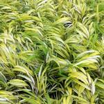 Japans berggras - Hakonechloa macra 'Aureola'